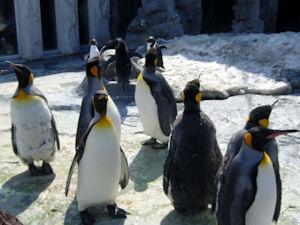ペンギン散歩1